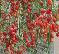 """""""Tylcv"""" pomodoro ragusano, Lorefice: «Servono interventi straordinari di ristoro economico per i produttoricolpiti»"""