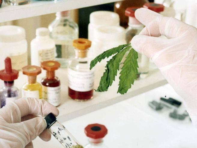 """Proposta di legge 'Cannabis terapeutica', Dep. Lorefice: """"Approvati tre nostri emendamenti.  Continua però a prevalere una visione retrograda che favorisce il businessillegale"""""""